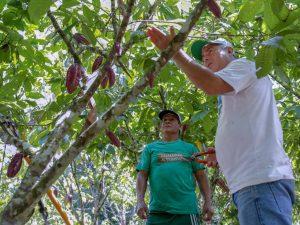 Loreto: Lanzan proyecto de mejoramiento de cacao en beneficio de 250 familias