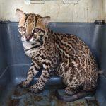 Ucayali: Liberan animales silvestre rescatados del tráfico ilegal