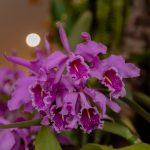 Aprueban plan para conservar orquídeas peruanas amenazadas