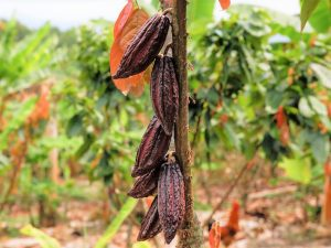 Aseguran que cacao de San Martín no tiene cadmio