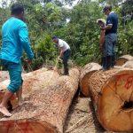 Ucayali: Comunidades nativas se beneficiarán con madera intervenida