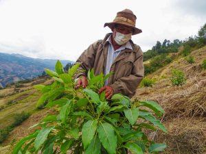 Huánuco: Fortalecen cadena productiva del palto