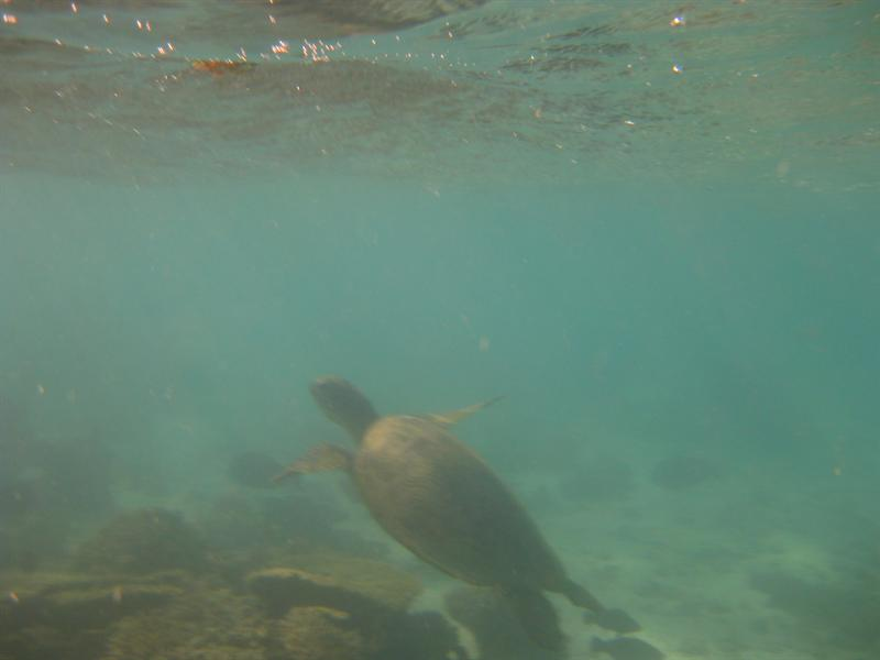 a turtle at Turquoise Bay