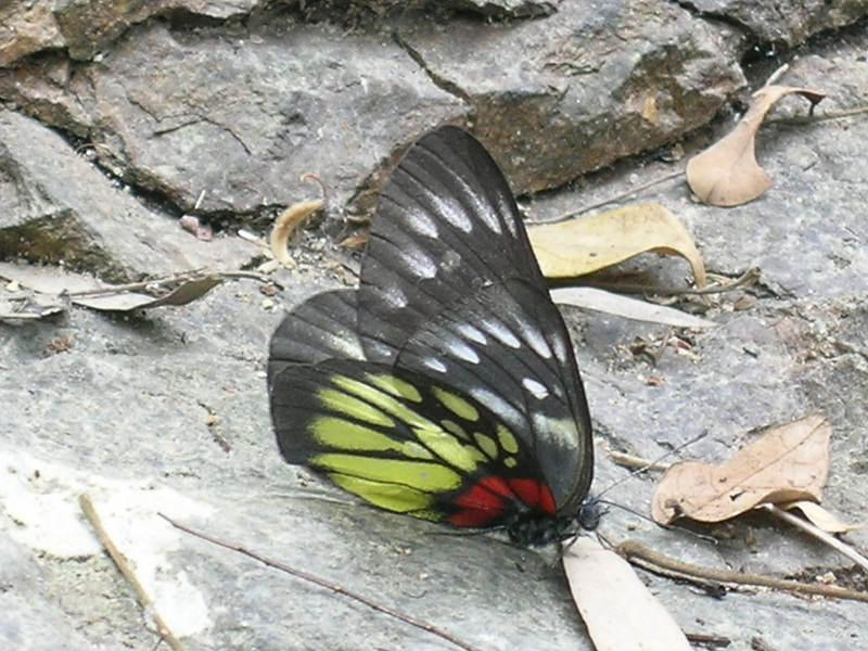 報喜斑粉蝶 Delias pasithoe