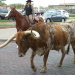 Long Horn at Fort Worth Stockyards
