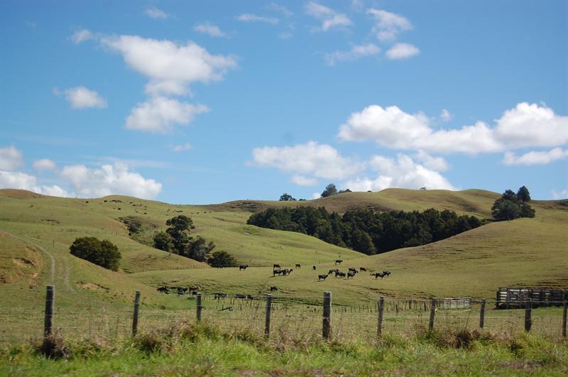 des collines vallonées avec des vaches