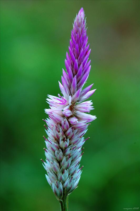 青葙子 Celosia argentea