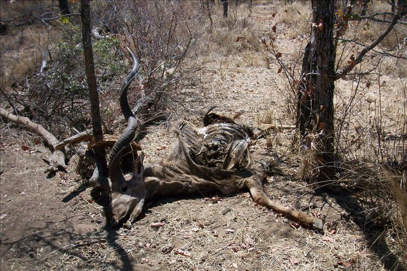 Kudu carcass / Carcasse de Koudou