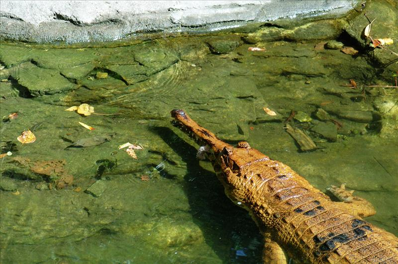 馬來長嘴鱷 False Gharial