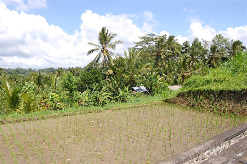 driving through rice fields to get to main entrance
