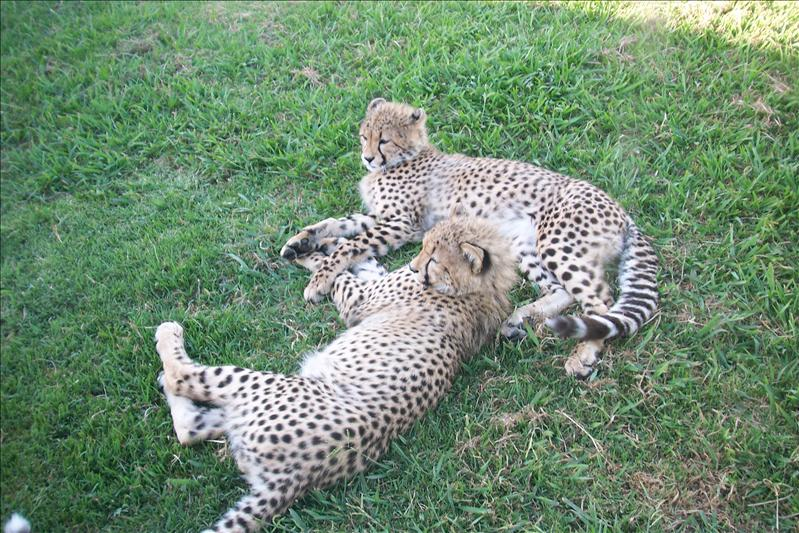 Cubs at Cheetah Outreach (Stellenboch)
