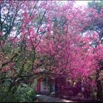 20100130 嘉道理賞櫻登大帽 Kadoorie Farm to Tai Mo Shan