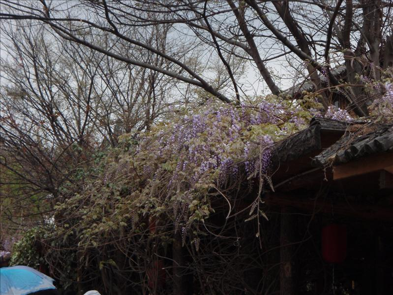 Wisterian, Lijiang Old Town