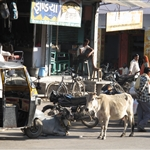 Busy street with cows