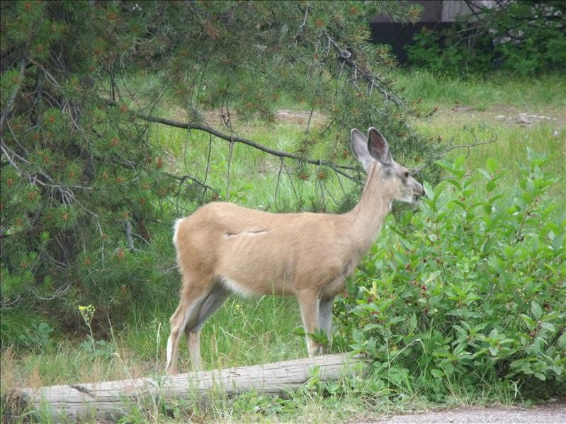 Mule deer in our camp