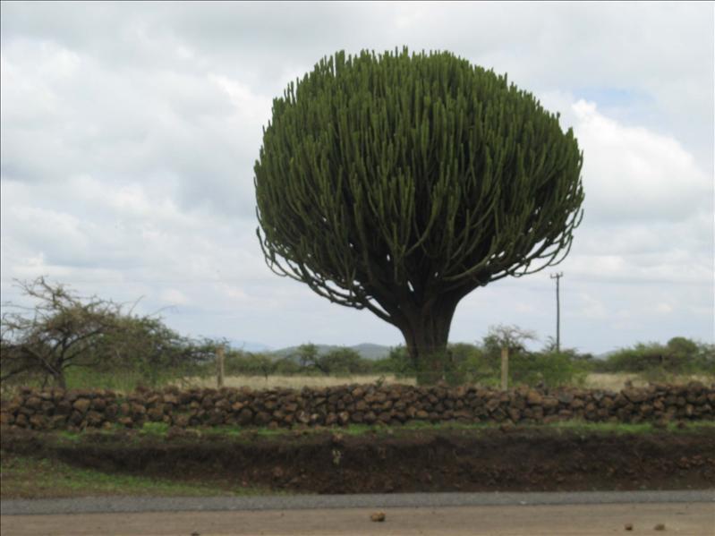 Candlebra Euphorbia