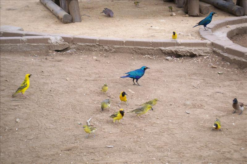 Cape Glossy Starling (blue)
