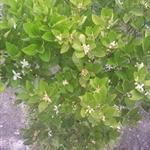 媽媽說~~~這次的金桔樹開花開的多~~~就會有很多金桔可以吃囉!!!!