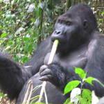 RDC-gorilla