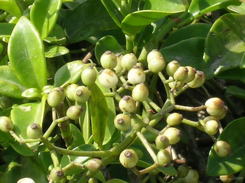 蔓九節 Psychotria serpens