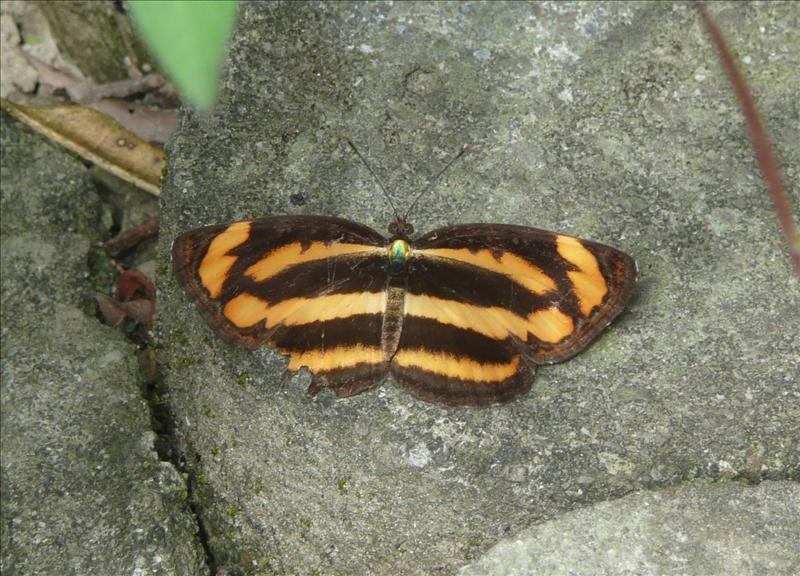 黃琉球三綠蝶
