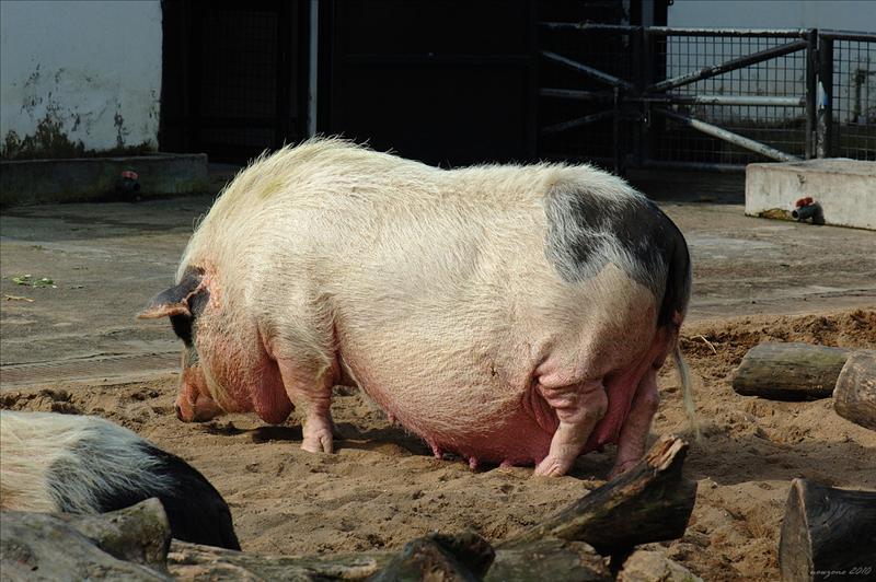 嘉度理農場的大花白豬 Da Hua Bai pig in Kadoorie Farm