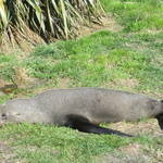 09. New Zealand - Kaikoura - breakfast with the seals!.JPG