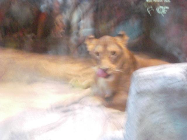 """YOU look tasty!"" - Lion Habitat @ MGM Grand"