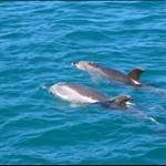 Bay of island dolphins!!