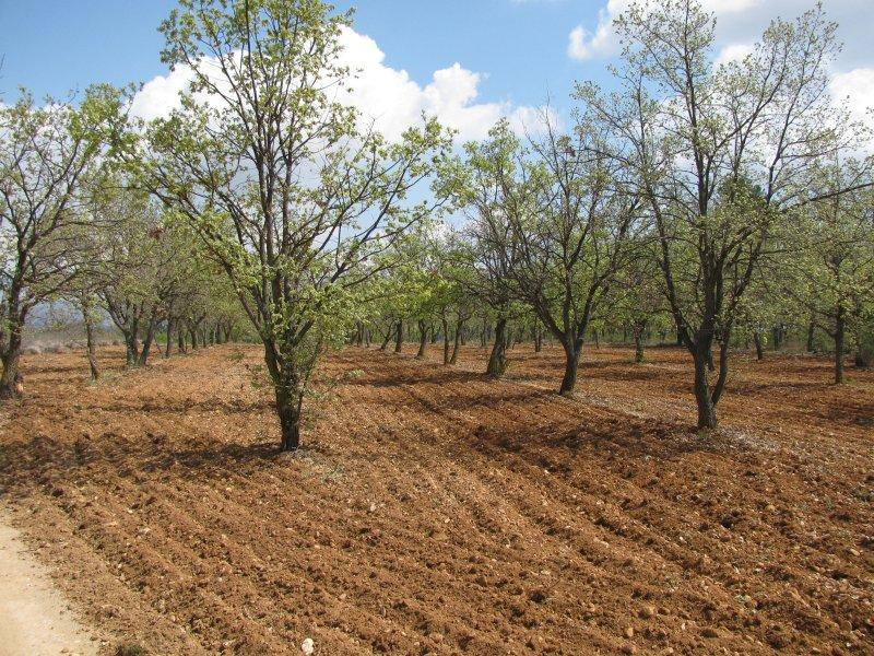These oak trees are a truffle farm.