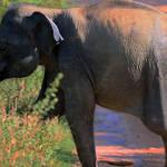 Baby elephant on the run