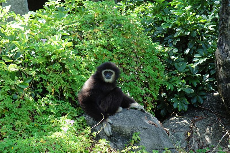 白手長臂猿 White-handed Gibbon