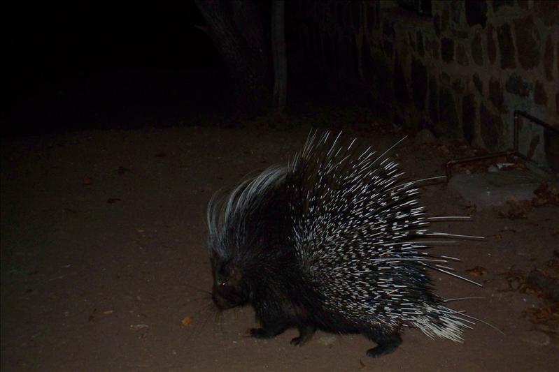 Brian the porcupine / Brian le porc-épic