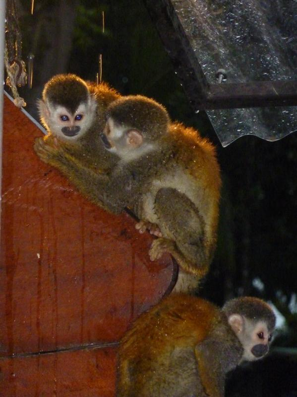 Monkeys hanging out in our hostel...