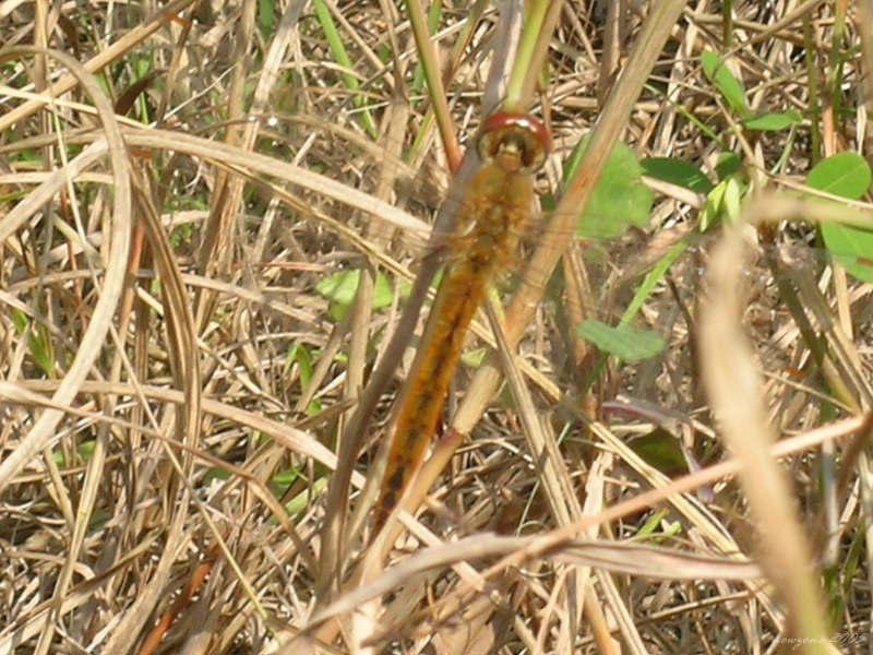 Pantala flavescens 黃蜻