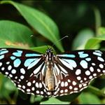 青斑蝶 Tirumala limniace (Blue Tiger)
