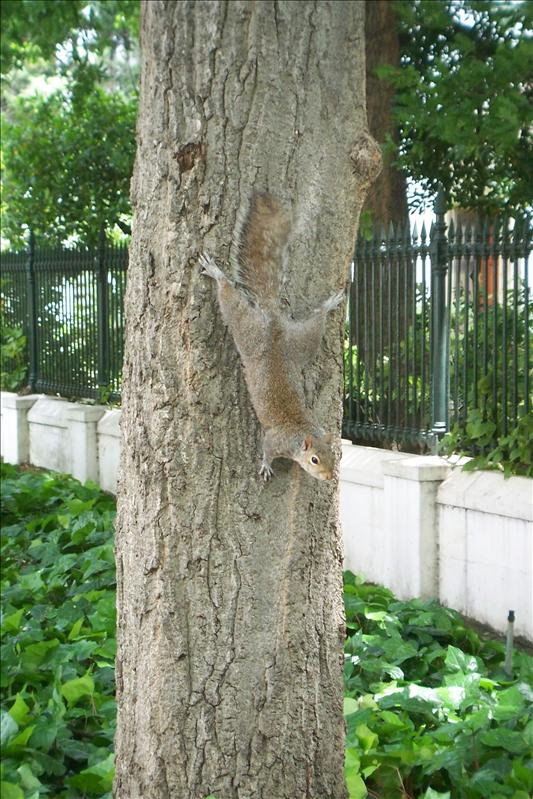 Squirrel / Ecurueil
