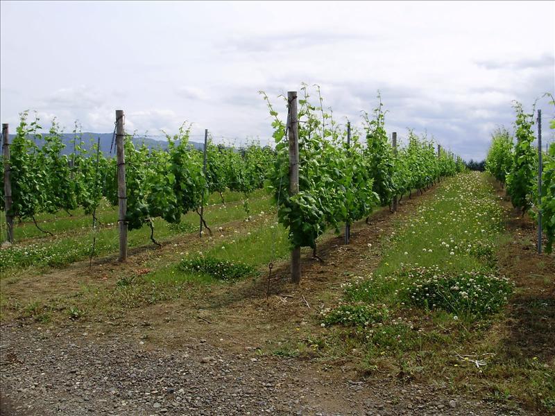 廣闊的葡萄園