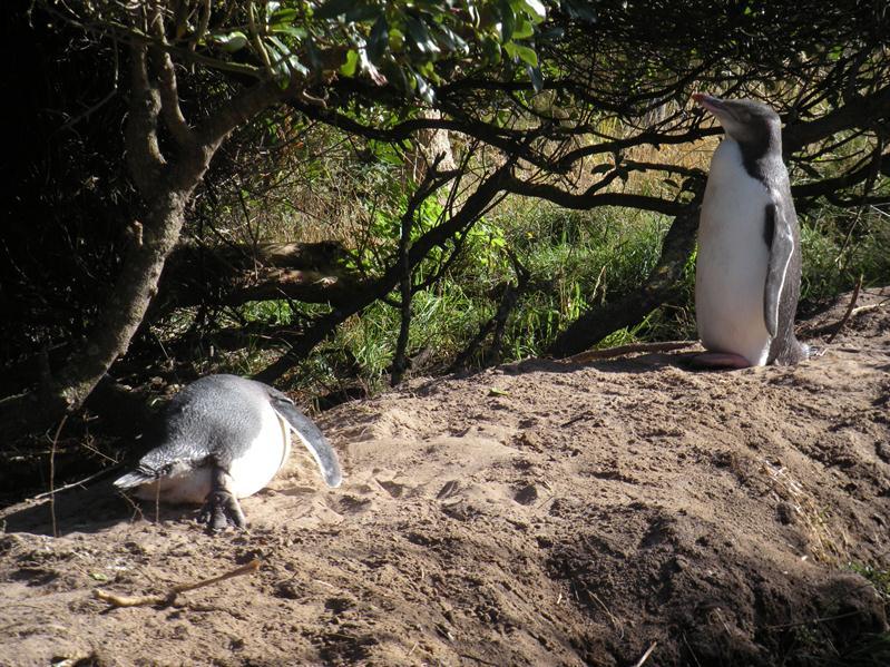 2 15 weeks old penguins