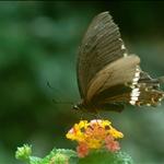 玉帶鳳蝶 Common Mormon (Papilio polytes)