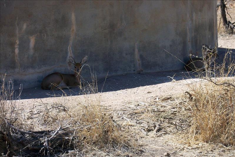 Steenboks / couple de Steenboks (la plus petite des antilopes)