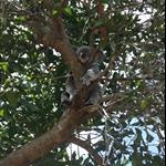 Koala, Australia Zoo