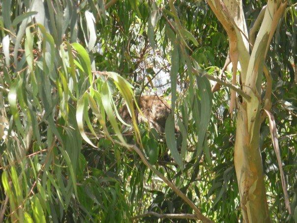 Koalas in wild
