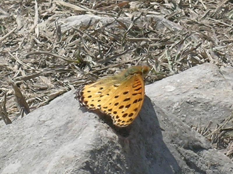 Argyreus hyperbius 斐豹蛺蝶