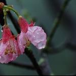 鐘花櫻桃 (山櫻花) Cerasus campanulata (Taiwan Cherry)