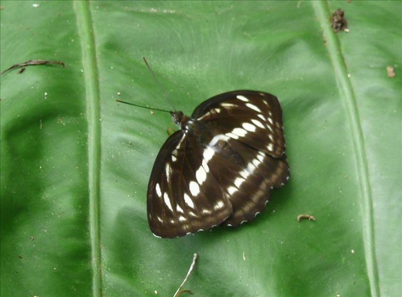 琉球三綠蝶