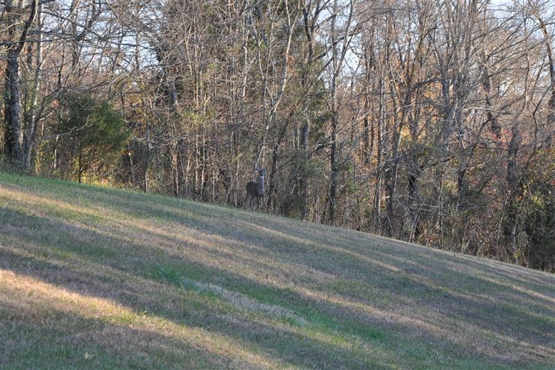 Deer on Natchez Trace Parkway
