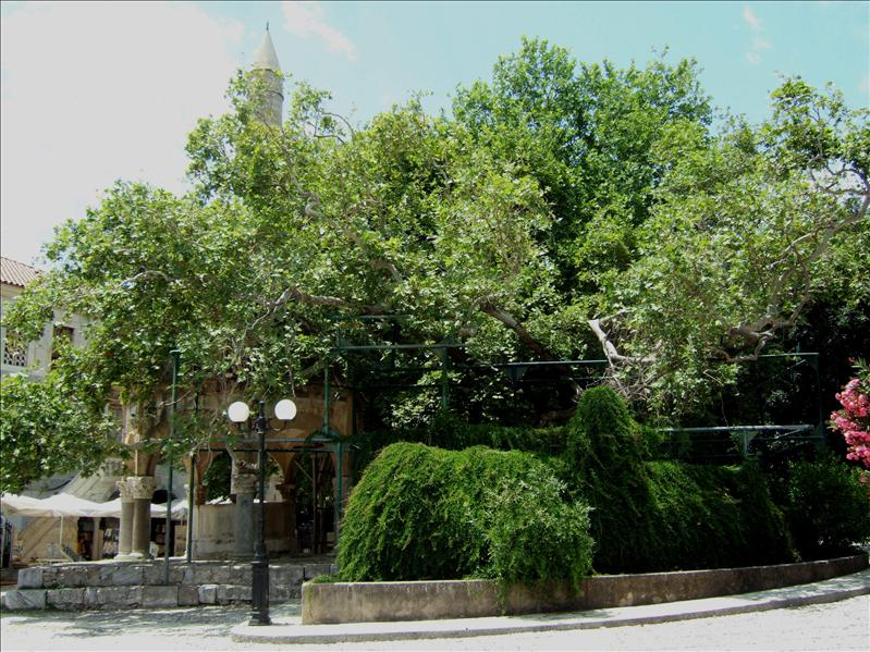 Kos Town - The Hippocrates Tree