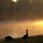 Geese, mist