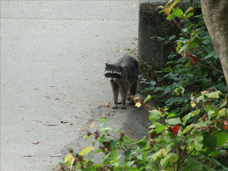 Our racoon pal